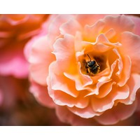 Facemount Acrylic - Rosa Floribunda 1/4 Inch Thick Acrylic Glass