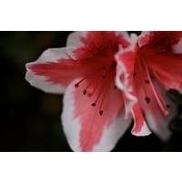 Facemount Acrylic - Pink Amaryllis 1/4 Inch Thick Acrylic Glass