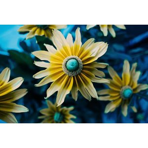 Print on Paper US250 - Rudbeckia Sunflower