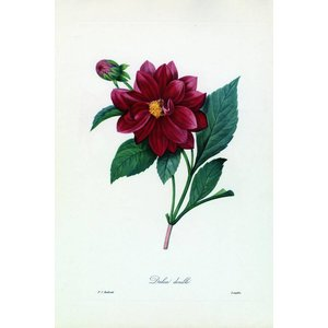 Print on Paper US250 - Dalea Double Botanicals by Pierre Joseph Redoute