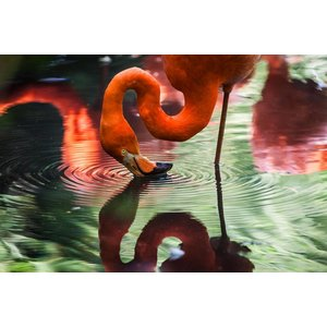 Print on Paper US250 - Flamingo Drinking