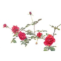Print on Paper US250 - Roses Cardinal by Stephanie Law