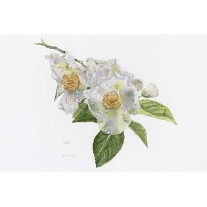 Print on Paper US250 - Japanese Stewartia by Stephanie Law