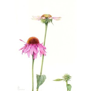 Print on Paper US250 - Echinacea by Stephanie Law