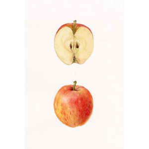 Print on Paper US250 - Apple by Stephanie Law