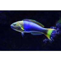 Print on Paper US250 - Lennardi Wrasse Tropical Fish