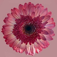 Facemount Acrylic - Pink Gerbera 1/4 Inch Thick Acrylic Glass
