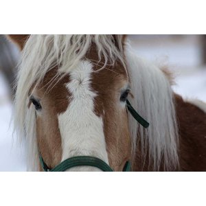 Print on Paper US250 - Poney in Winter Print on Archival Paper