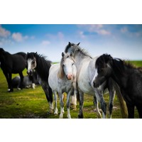 Print on Paper US250 - Horses by S. Scholl Print on Archival Paper