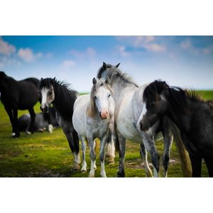Print on Paper US250 - Horses by S. Scholl