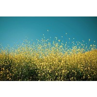 Print on Paper US250 - Yellow Fields by T. Mossholder