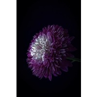 Facemount Acrylic - Purple Dahlia 1/4 Inch Thick Acrylic Glass