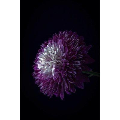 Facemount Acrylic - Purple Dahlia 1/4 Inch Thick Acrylic Glass by C. Quintero