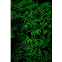 Facemount Acrylic - Fern by G. Geller 1/4 Inch Thick Acrylic Glass