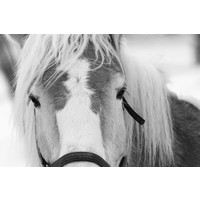 Print on Paper US250 - Poney Horse in Winter