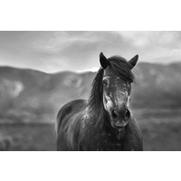 Print on Paper US250 - Percheron Horse