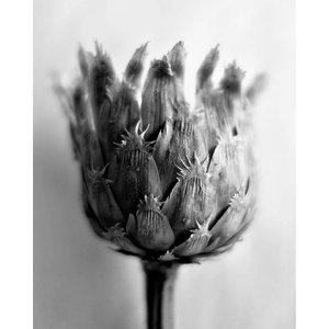 Print on Paper US250 - Fleur de Chardon Photography by Eric Gizard