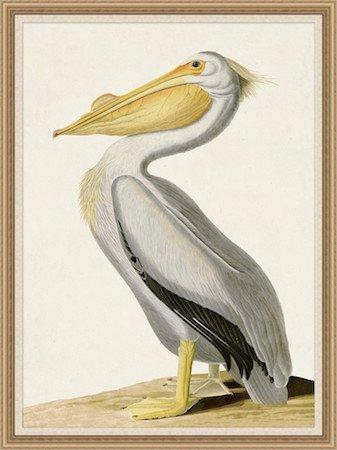 Audubons White Pelican