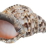 Triton Shell w/diamonds