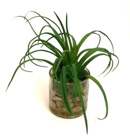 "Air Plant in 3"" Cylinder-Faux Water (Green)"