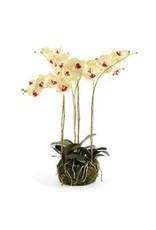 """Phalaenopsis Drop-In 25"""""""