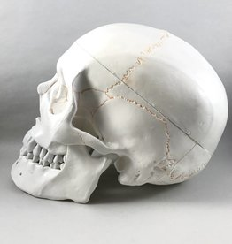 Eisco Labs Human Skull Model