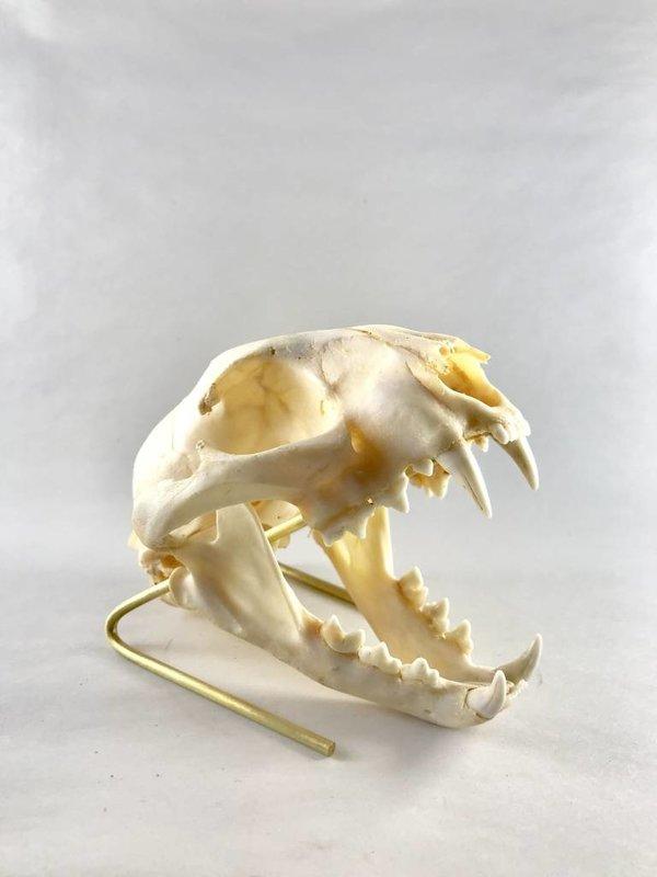 Caracal Skull