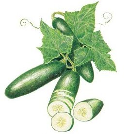 Botanical Interests Cucumber Poinsett 76