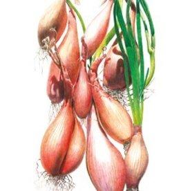 Botanical Interests Onion Shallot Zebrune
