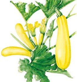 Botanical Interests Squash Summer Cube Butter hybrid