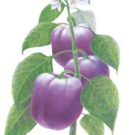 Botanical Interests Pepper Sweet Purple Beauty