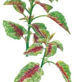 Botanical Interests Amaranth Edible Red Leaf