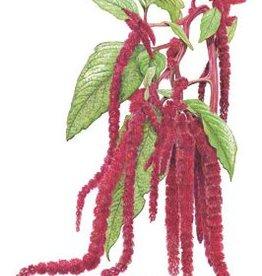 Botanical Interests Love Lies Bleeding