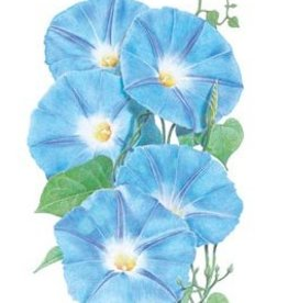 Botanical Interests Morning Glory Heavenly Blue