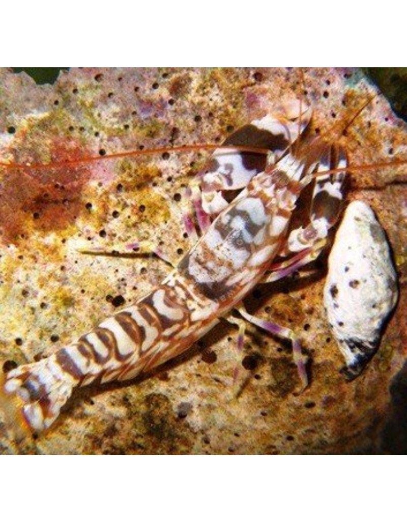 Pistol Tiger Shrimp