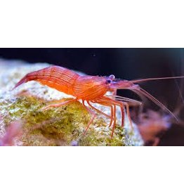 Peppermint Shrimp