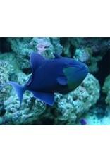 Niger Triggerfish SM