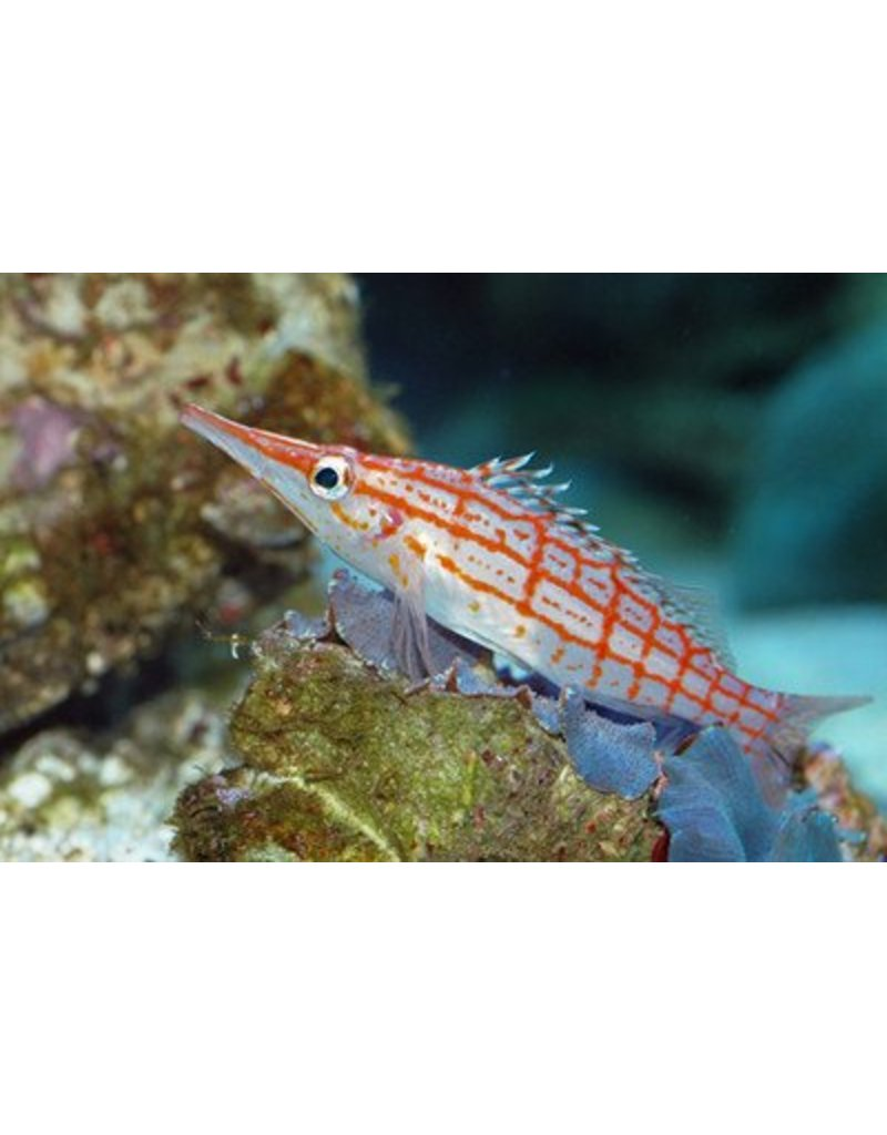 Longnose Hawkfish Lg