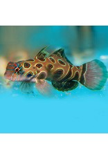 Spotted Mandrin Goby SM
