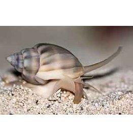 Nassarius Snail Tonga