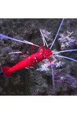 Fire Shrimp L (SRI LANKA)