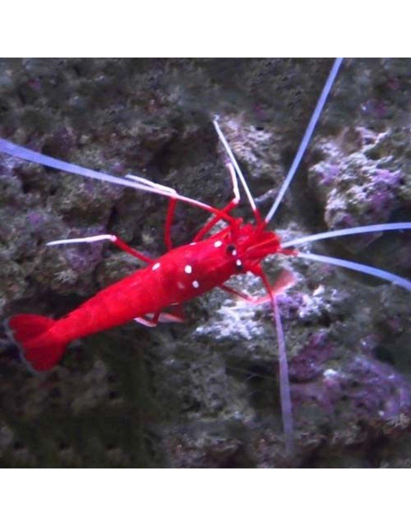 Fire Shrimp L (SRI LANKA)