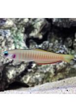 Barred Dartfish M