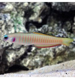 Barred Dartfish M