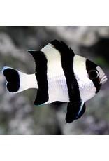 4 Stripe Damsel S
