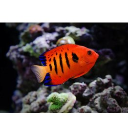 Flame Angelfish M