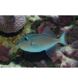 BlueJaw Trigger Female S