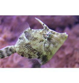 FileFish Aiptasia Eating
