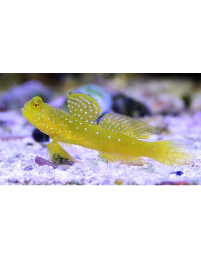 Yellow Watchman Goby S