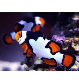 Picasso Clownfish Premium M